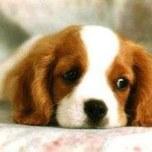chiens - Dessin - Dessins et images des membres de Jedessine - Images