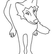 Coloriage d'un loup de face - Coloriage - Coloriage ANIMAUX - Coloriage ANIMAUX DE LA FORET - Coloriage LOUP