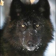 Reportage : Le loup