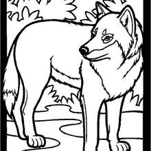 Coloriages coloriage d 39 un loup gris - Photo de loup gris a imprimer ...