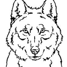 Coloriages coloriage d 39 une t te de loup - Dessin de loup simple ...