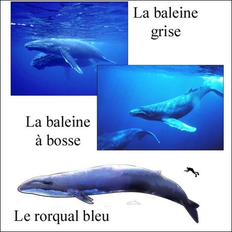 cetaces-fanons