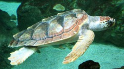 tortuecouanne