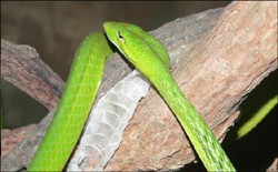 serpent-liane