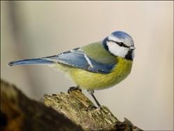 mesange-bleue