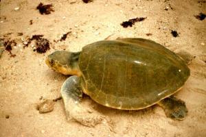 la-tortue-de-mer