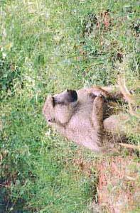 en-direct-du-massaï-mara