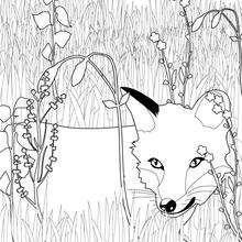 Coloriage du Renard dans l'herbe