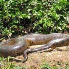 L'anaconda - Lecture - REPORTAGES pour enfant - Fiches pédagogiques sur les animaux