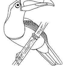 Coloriage d'un toucan - Coloriage - Coloriage ANIMAUX - Coloriage OISEAU - Coloriage TOUCAN