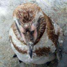 Les pingouins - Lecture - REPORTAGES pour enfant - Fiches pédagogiques sur les animaux