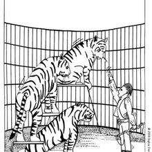 Coloriage de tigres - Coloriage - Coloriage GRATUIT - Coloriage GRATUIT CIRQUE - Coloriage ANIMAUX CIRQUE