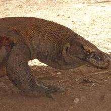 Reportage : Visite de l'île des dragons du Komodo