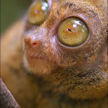 LE TARSIER : un drôle de petit animal dans la jungle sauvage - Lecture - REPORTAGES pour enfant - Fiches pédagogiques sur les animaux