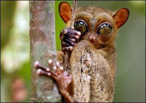 tarsier4
