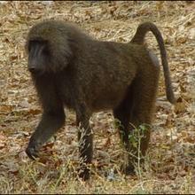 Les babouins - Lecture - REPORTAGES pour enfant - Fiches pédagogiques sur les animaux
