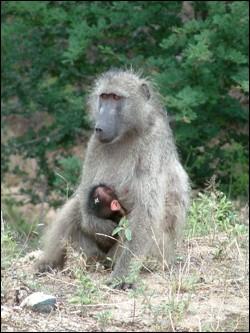 babouin-et-bebe