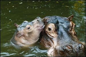 bebe-hippo