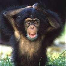 Le chimpanzé : l'animal qui ressemble le plus à l'homme. - Lecture - REPORTAGES pour enfant - Fiches pédagogiques sur les animaux