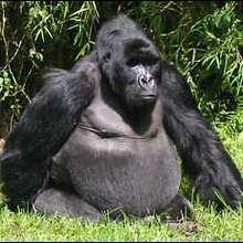 Le gorille de montagne. - Lecture - REPORTAGES pour enfant - Fiches pédagogiques sur les animaux