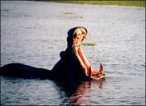 hippopotame-baille