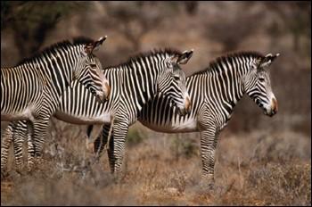 zebres-GREVY