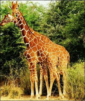Galerie de la Girafe Girafe3-source_o2w