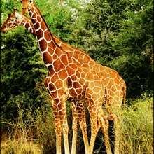 La girafe - Lecture - REPORTAGES pour enfant - Fiches pédagogiques sur les animaux