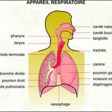 Reportage : Les poumons