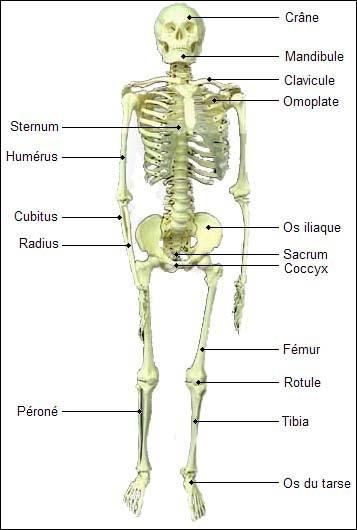 Le squelette les os et les articulations accueil auto for Interieur du corps humain photo