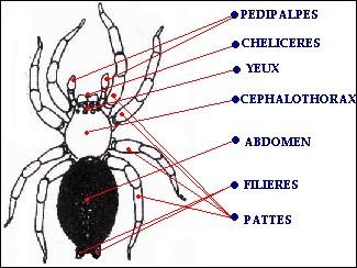 Anatomie-araignée