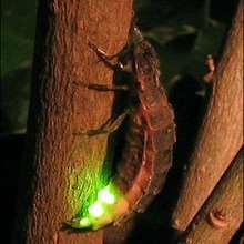 La luciole - Lecture - REPORTAGES pour enfant - Fiches pédagogiques sur les animaux - Dossier sur les insectes
