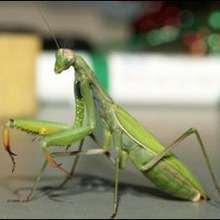 La Mante religieuse - Lecture - REPORTAGES pour enfant - Fiches pédagogiques sur les animaux - Dossier sur les insectes