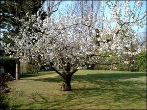 Cerisier_en_fleur