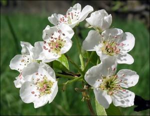 fleur-de-poirier