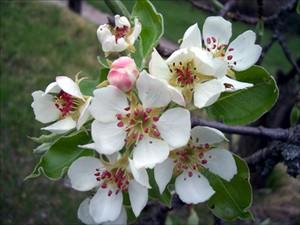 fleurs_cerisier