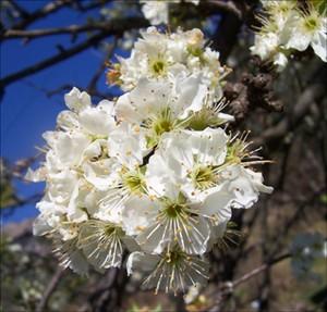 fleurs_prunier