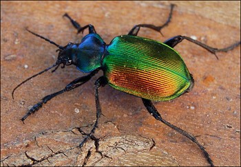 scarabee1