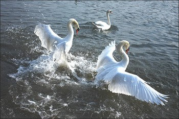 combat de cygnes