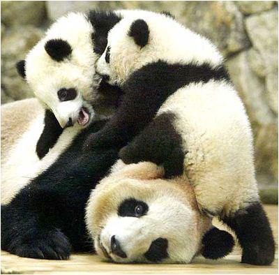 http://www.jedessine.com/_uploads/_tiny_galerie/20090728/bebes-pandas-source_996.jpg