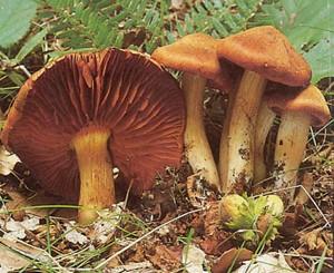 contes pour enfants les champignons dangereux lire fr. Black Bedroom Furniture Sets. Home Design Ideas