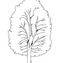 Coloriage d'un peuplier - Coloriage - Coloriage NATURE - Coloriage ARBRE - Coloriage PEUPLIER