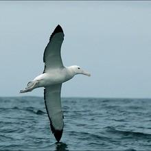 Reportage : L'albatros hurleur