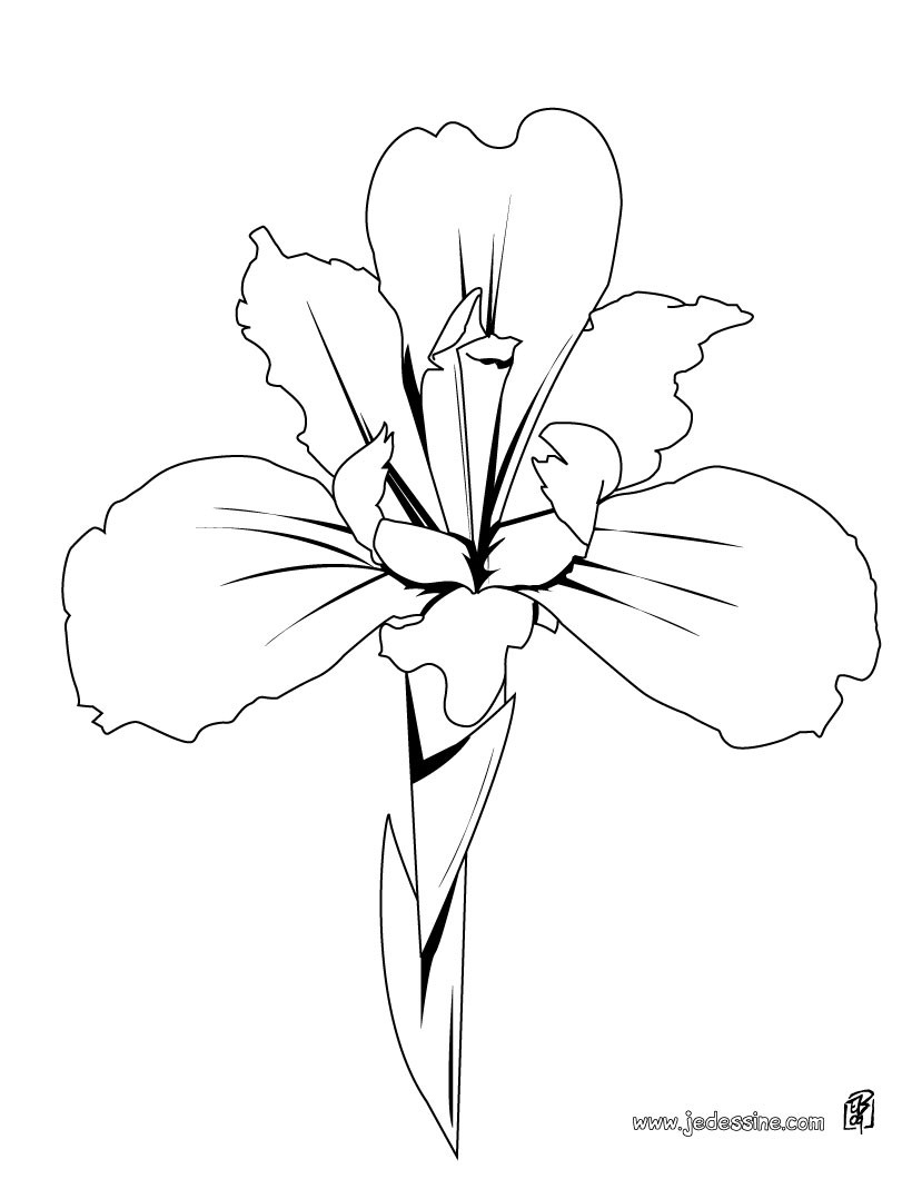 Coloriage d'un iris