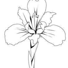 Coloriage d'un iris - Coloriage - Coloriage NATURE - Coloriage FLEUR - Coloriage IRIS