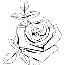 Coloriage d'une rose - Coloriage - Coloriage NATURE - Coloriage FLEUR - Coloriage ROSE