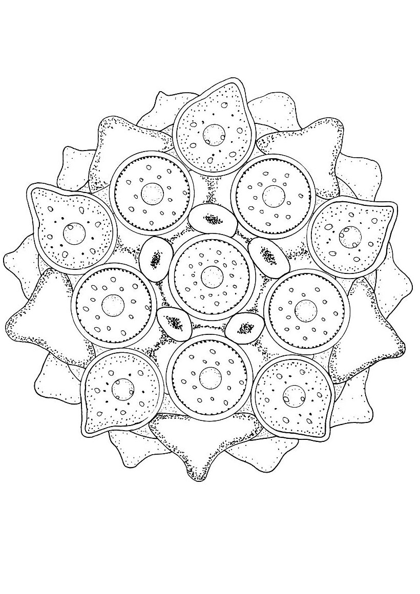 Coloriages coloriage de l 39 algue verte - Colorier mandala ...