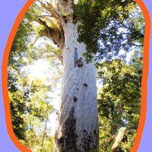 Reportage : Les arbres Kauris de Nouvelle-Zélande