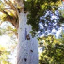 Les arbres Kauris de Nouvelle-Zélande