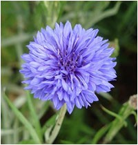 centauree-barbeau-bleue